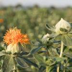 薬膳で使われる紅花の効果や効能について