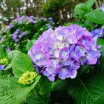 紫陽花の地植えに適切な時期は!?植える間隔や深さは!?