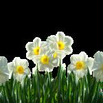 鋸南町の水仙まつり!開花情報や見頃の時期についてご紹介!