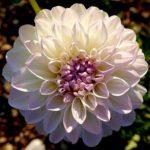 ダリアの花びらの数や花の大きさは!?種類によって違うの?