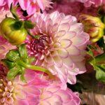 ダリアのピンク色の品種一覧まとめ