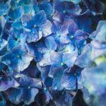 鉢植えの紫陽花が枯れた原因と対策方法は!?