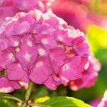 紫陽花の押し花のやり方について。変色してしまう場合は!?