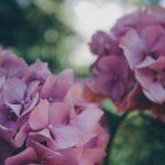紫陽花の切り花や花束の値段はいくら!?