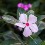 ニチニチソウの種まき。上手に発芽させる方法や発芽日数は!?
