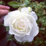 四季咲きのバラの上手な育て方について