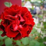 薔薇の葉っぱがしおれる原因と対策法について