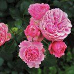 ようやく咲いたバラの花が小さい?その原因と対処は?