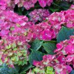 紫陽花の花後のお手入れ方法について