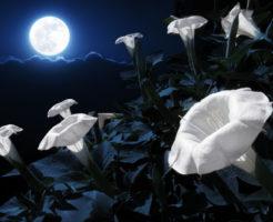 夜顔 種 収穫