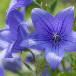 キキョウの花の種類の名前一覧について