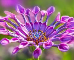 ガーベラ 色 花言葉