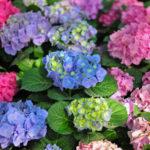 紫陽花の葉に茶色い斑点ができる原因や対策方法について