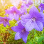 ピンクの花を咲かせるキキョウの種類について