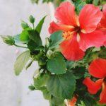 ハイビスカスの花びらの特徴。大きさや枚数は!?