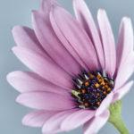 ガーベラの押し花の作り方やコツについて