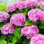 紫陽花に寄ってくるハバチや毛虫の駆除方法について