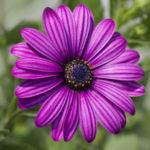 ガーベラの花の大きさは!小輪、中輪のサイズは?