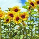 ひまわりの花粉の特徴について。大きさはどれくらい!?