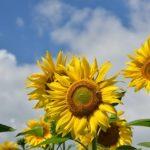 関西版ヒマワリの開花情報!見頃な時期やおすすめのスポットをご紹介!