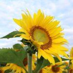 ひまわりの畑の作り方や種まき方法について