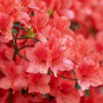 【ツツジの花粉の特徴!形や大きさについて】