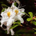 ツツジの白の品種一覧について
