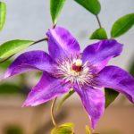 クレマチスの四季咲きの育て方や剪定方法について