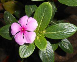 ニチニチソウ 花 咲かない