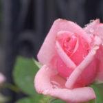バラの新芽がしおれる理由と対処法について