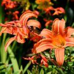 ユリの花粉の特徴について。色や大きさはどれくらい!?