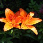ユリの花の種類の一覧まとめ