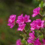 ツツジの花の学名や名前の由来について