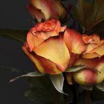 夏を乗り切ろう!薔薇の葉が夏に枯れてしまう原因と対処法