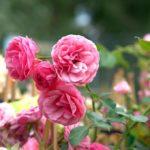 初心者でも大丈夫!バラの花壇の作り方や植え方について