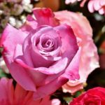 バラの品種ガブリエルの育て方について