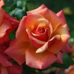 薔薇ルシファーってどんな種類!?花言葉や香りについて