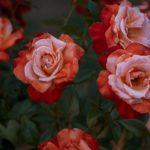 バラの花束20本の意味や値段、ボリュームはどれくらい!?