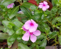 ニチニチソウ 育て方 花壇 間隔