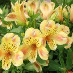 アルストロメリアの花束の値段はどのくらい?切り花1本あたりの値段は?