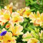 四季咲きアストロメリアの苗の育て方や手入れ方法のコツはある?