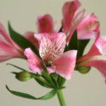 アルストロメリアの鉢植えでの育て方はどうする?お手入れ方法は?