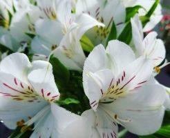 アルストロメリア 種 鉢植え 販売