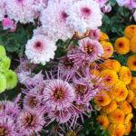 菊の鉢植えの育て方や植え替えの方法について