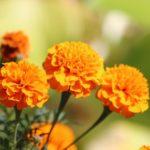 マリーゴールドの花が咲かない原因や対策法とは!?