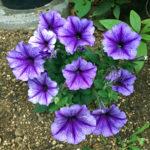 ペチュニアの花壇での育て方や正しい植え方は!?