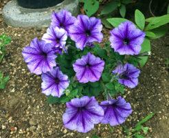 ペチュニア 花壇 育て方