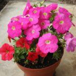 色別のペチュニアの花言葉の意味や由来について