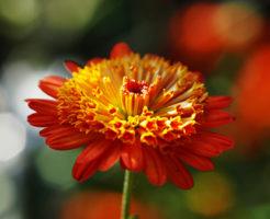 菊 肥料 種類