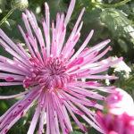 食用菊もってのほかの食べ方や栄養について